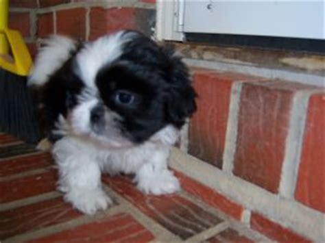 shih tzu puppies for sale in huntsville alabama shih tzu puppies in alabama