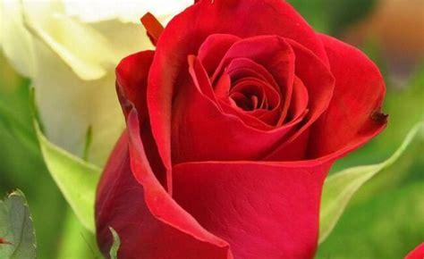 rosa fiore significato della rosa nel linguaggio dei fiori