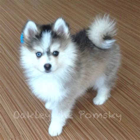 pomeranian husky mix puppies for sale oakley the pomsky pomeranian husky oakley the pomsky