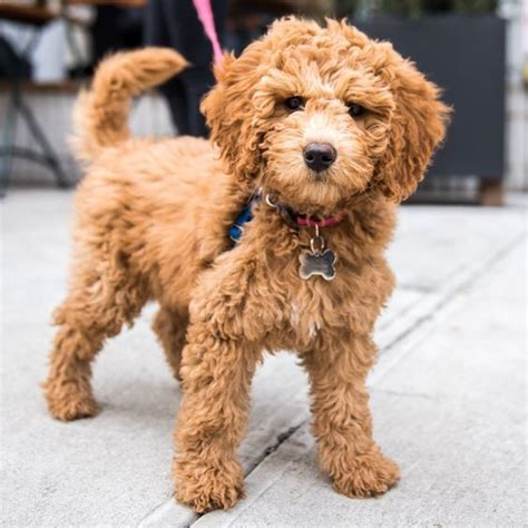 mini goldendoodle how big do they get 25 best mini goldendoodle ideas on cutest