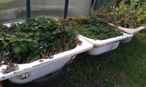 recycled bathtub garden and shower recess strawberry patch