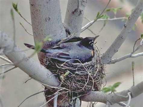 building a robin nest