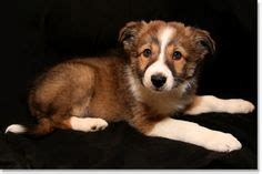 border collie puppies for sale in ky 1000 images about ᏴᎾᎡᎠᎬᎡ ᏟᎾᏞᏞᏆᎬ on border collie