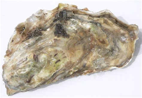 oyster shell oyster wikipedia