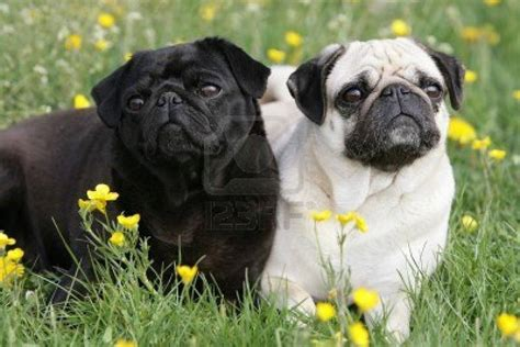 pug negro black and fawn pug dogs picture