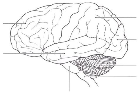 Brain Outline Lobes by Blank Brain Diagram Biology Forums Gallery