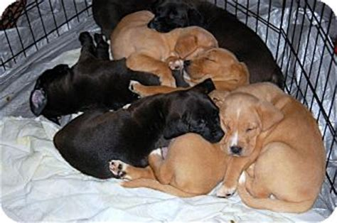 boxer puppies kentucky lab boxer puppies adopted puppy ky labrador retriever boxer mix