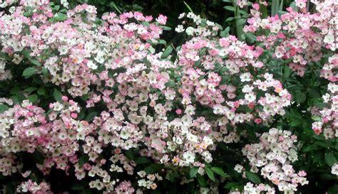 fiori d arancio sezze siepe bassa rustica e con piante locali forum di