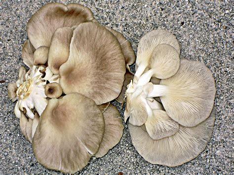 cucinare funghi coltivati i funghi coltivati supermercato chignons