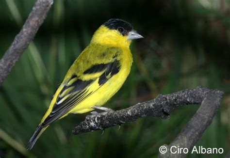 yellow faced siskin birdforum opus
