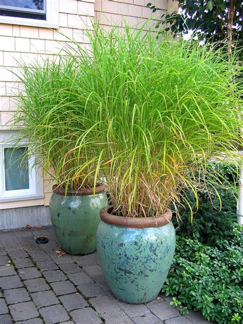 Ornamental Grasses For Planters by Grass Pots Them Instant Drama And Privacy