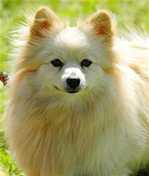 pomeranian puppy price in hyderabad 17 best images about hyderabad dogs and puppies for sale on chihuahua