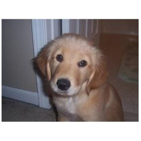 golden retriever south dakota golden retrievers in south dakota akc golden retriever puppies breeds picture