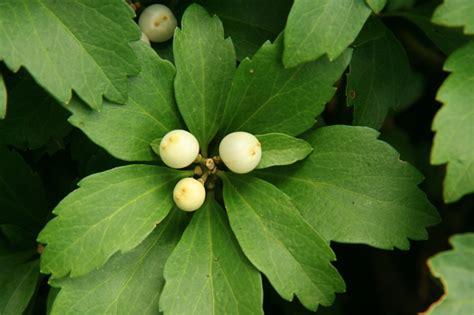 Michigan Net Search Pachysandra Terminalis Image Michigan Flora