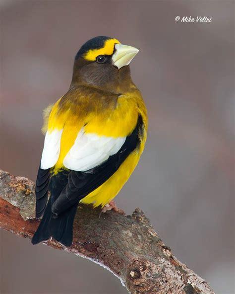best 25 ontario birds ideas on pinterest pictures of