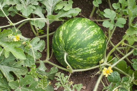 How To Plant Watermelon In A Garden by How To Grow Watermelon Ebay