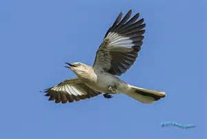 Mission Style Homes Northern Mockingbird In Flight 8741 Flickr Photo