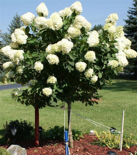 Unilock Pavers Dealer Hydrangea Tree Limelight Ornamental Trees Trees