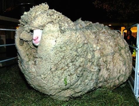 new year sheep story shrek the sheep who escaped shearing for 6 years