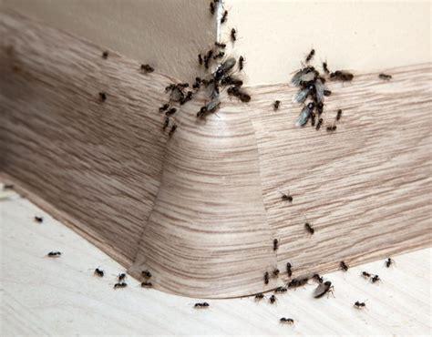 ameisen in wohnung ameisen im haus was tun welche hausmittel helfen wie