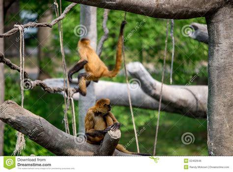 swinging monkeys monkeys swinging primates stock photo image 52402646