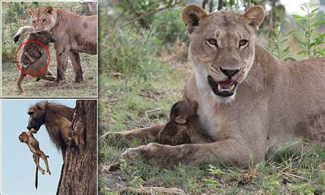 baby baboon suckles lioness  mother  killed daily mail