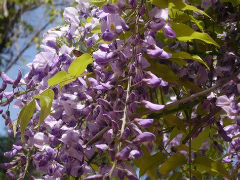 lavender vanilla friends of the gardens wisteria all