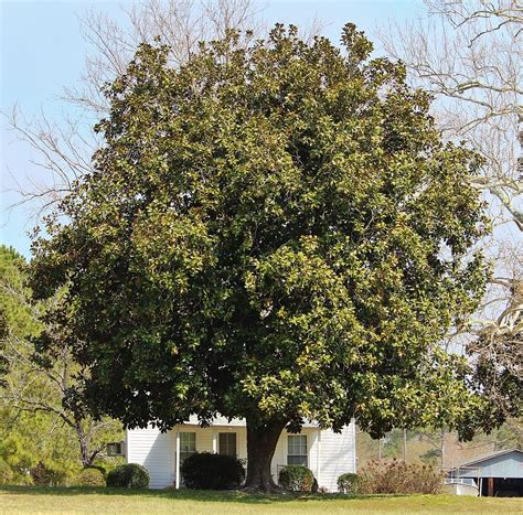 medium sized trees for front yard front yard tree photograph