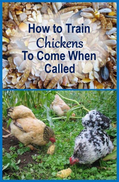 Backyard Chickens Safety Best 25 Silkie Chickens Ideas On Black Silkie