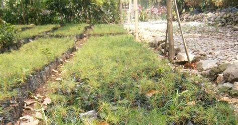 Bibit Tanaman Coklat segala jenis tanaman bibit pinus
