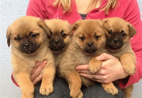 pug and chihuahua mix puppies for sale uk best 25 pomeranian mix ideas on husky pomeranian mix pomeranian mix