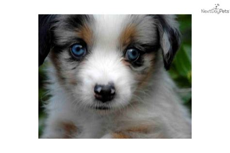 blue merle australian shepherd puppies for sale blue merle australian shepherd puppies for sale in ohio