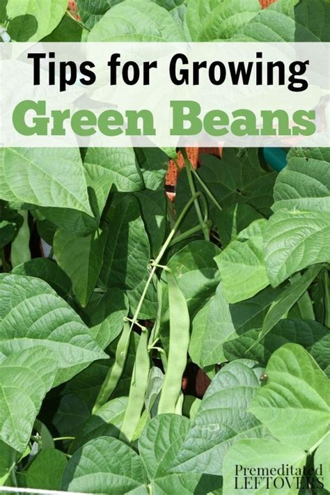 gardens read more and green beans on pinterest