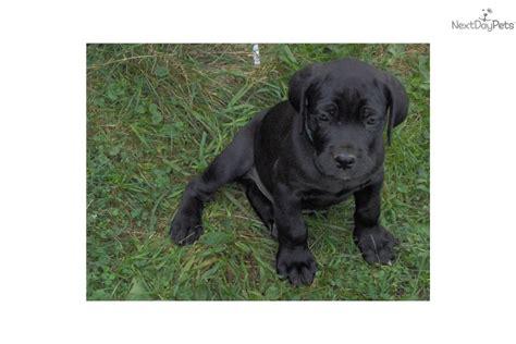 corso puppies for sale in va mastiff puppies for sale corso puppies breeds picture