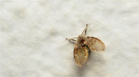 drain fly horizons pest control pest control service