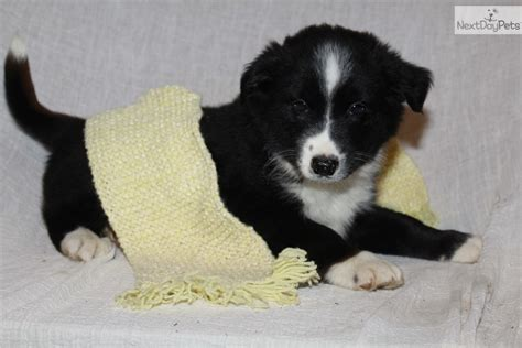 border collie puppies michigan border collie for sale for 399 near grand rapids michigan eb994765 c821