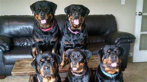 another name for rottweiler image gallery rottweiler attack