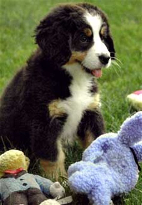bernese mountain puppies cost xvon image bernese mountain breeders cost