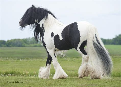 Gypsy vanner horses and gypsy horses in minnesota horse boarding