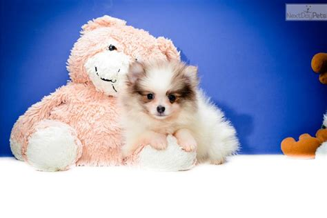 free puppies in cleveland ohio free shippiteacup miss tiff www affordablepup pomeranian puppy for sale near