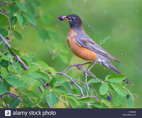 birds american robin feeding off serviceberry tree idaho