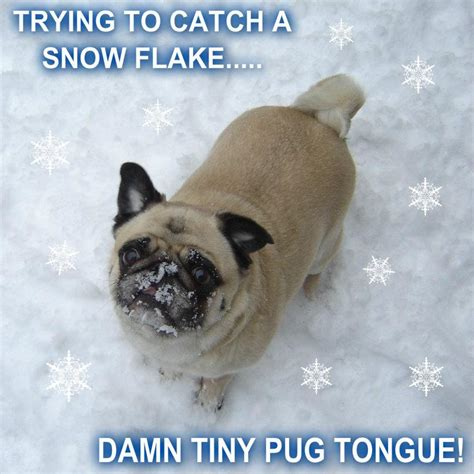 pug humour pugs images pug catching snow flakes hd wallpaper and background photos 33700956