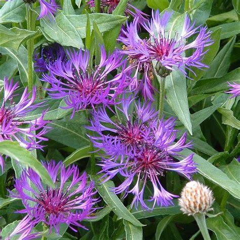 Blume Kleine Blaue Blüten 1118 by Stauden Stade Versand Shop Centaurea Montana Berg