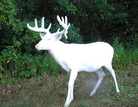 Brown County Wisconsin Birth Records Do White Deer Deserve Special Treatment