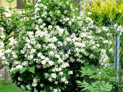 fior d angelo philadelphus pubescens fiori d angelo forum di