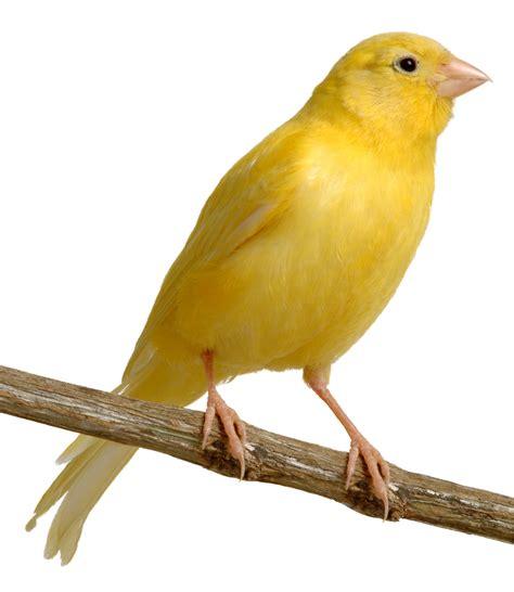 canaries bird yellow stock photos american singer canary
