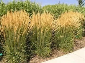 foerster s feather reed grass landscape pinterest
