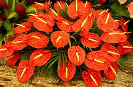 Tanaman Bunga Anthurium Merah 1 tanaman indah yang beracun