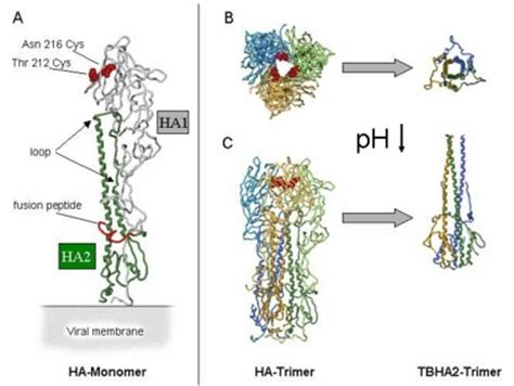 influenza ha protein of molecular biophysics viral fusion proteins