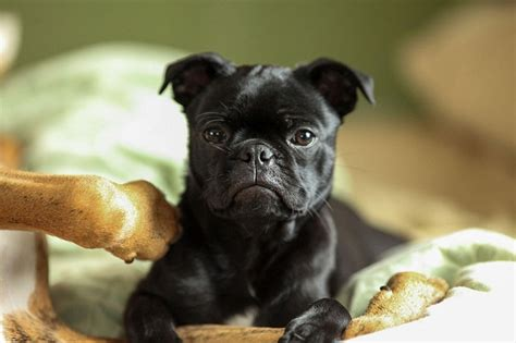 black pug temperament frenchie pug frug bulldog pug mix info puppies temperament